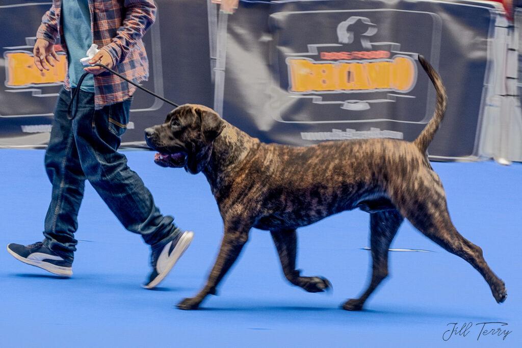 Dogo Canario6